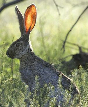 photo of a jackrabbit listening, ears up.